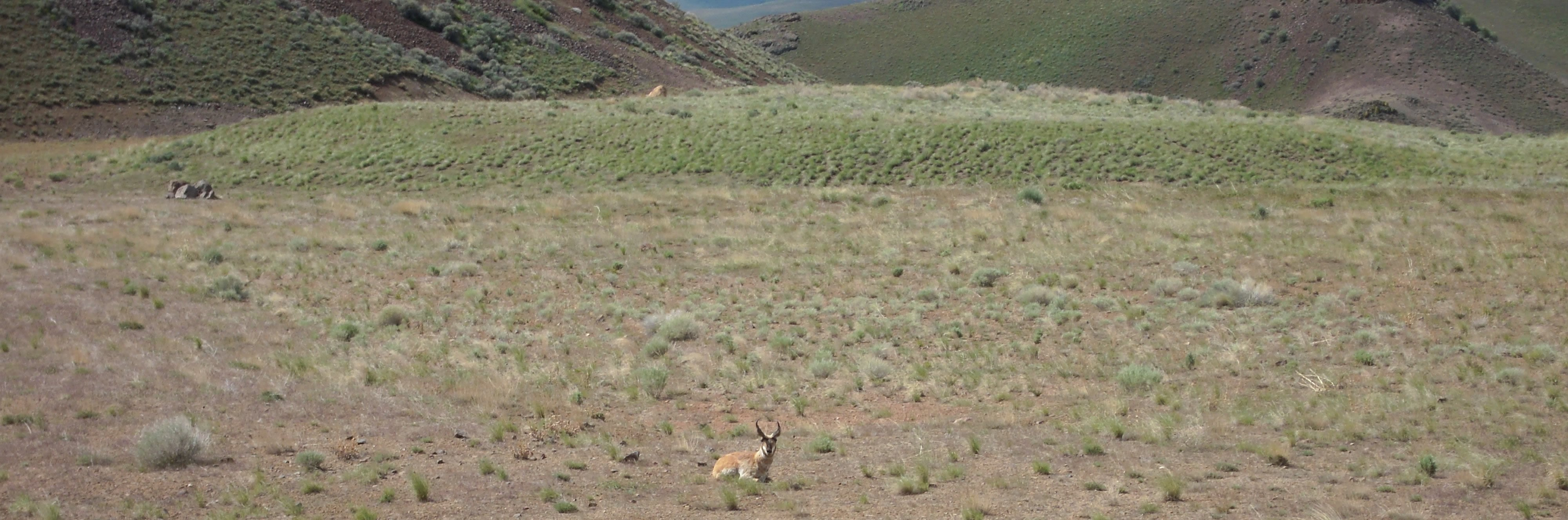 Reclaimed and well-vegetated head leach pad with a pronghorn laying down in the foreground.